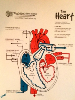 Circulatory System: Colouring Activity